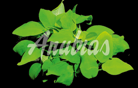 Anubias-species-_Gold_#DF5A